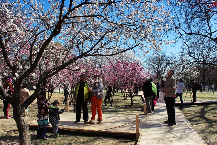 Kirschblüte im Stadtmauerpark in Peking, Beijing, Ming City Wall Relics Park
